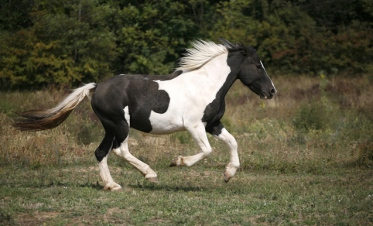 Spotted horse galloping in pasture